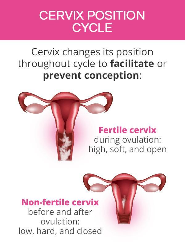 Cervix position cycle